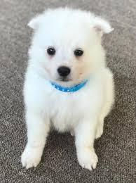 american eskimo dog yahoo pomeranains puppies for sale akc and ckc