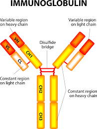 heavy chain light chain immunoglobulins the transporter of antibodies