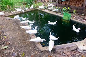 muscovy ducks u2013 duckduckbro