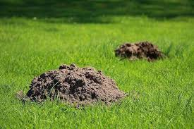 How To Get Rid Of Moles In The Backyard by How To Get Rid Of Moles 9 Best Traps Repellents And Poisons From