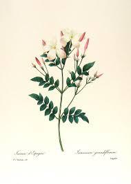jasmine flower artwork google search flowers pinterest