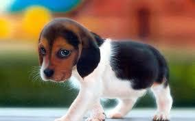 beagle puppy wallpaper customity