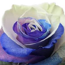 white and blue roses bulk roses blue purple white tinted 1 800 blooming