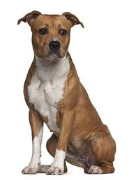 american pit bull terrier vs american staffordshire terrier american staffordshire terrier breed information photos history