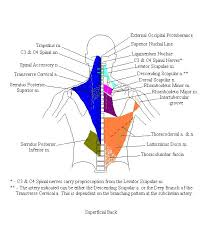 Anatomy And Physiology Of The Back Anatomy And Physiology Upper Extremity Superficial Back Cfaa