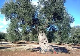 land plots with centuries olive groves carovigno interesting