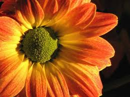 Yellow Orange Flowers - yellow daisy flower with green jpg