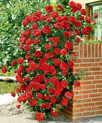 buy climbing rose u0027santana u0027 bakker com