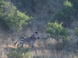 zebra hunting khomas highland hunting en