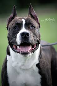 american pitbull terrier jumping 36 best american staffordshire terrier images on pinterest