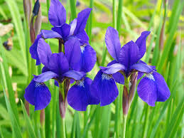 iris flowers iris flowers purple blue irises prints baslee troutman