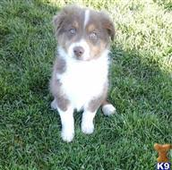 australian shepherd for sale california australian shepherd puppies for sale in california