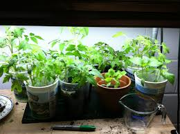 Indoor Spice Garden by Indoor Vegetable Gardening 17 Best Images About Indoor Vegetable