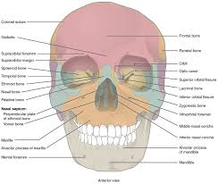 Simple Anatomy And Physiology Labeling The Bones Of The Skull Simple The Skull Anatomy And