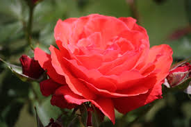 Diana Princess Of Wales Rose by Roses Named For Famous People