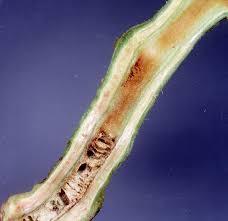 Plant Diseases Wikipedia - ralstonia solanacearum wikipedia