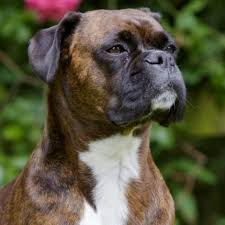 boxer dog uncontrollable head shaking learn about the boxer dog breed from a trusted veterinarian