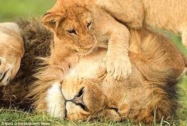 lions sutori