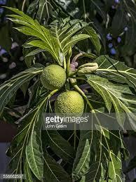 Ackee Fruit Tree - jamaica ackee apple or akee national fruit of jamaica stock photo