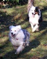 3 legged australian shepherd dogs u2013 jf perkins