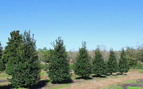 learn about huntsman tree suppliers