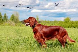 irish setter male dog names irish setter puppies for sale from reputable dog breeders