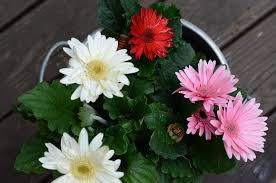 growing gerbera daisies indoors youtube
