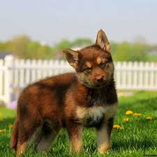 australian shepherd with german shepherd german shepherd mix puppies for sale in de md ny nj philly dc and