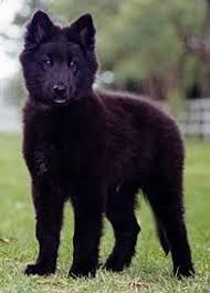 belgian sheepdog hypoallergenic belgian sheepherd dog the belgian shepherd dog will usually live