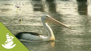 pelicans beak youtube