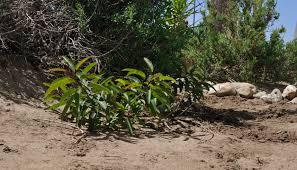native san diego plants at the edges u2013 binational friendship garden in tijuana san diego