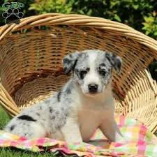 australian shepherd lab mix for sale australian shepherd mix puppies for sale greenfield puppies
