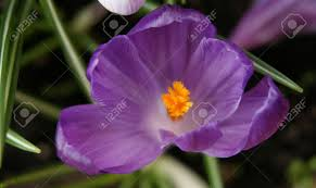 macro photo of crocus the color shades of purple and white