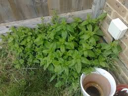 learn how to control mint plants in the garden