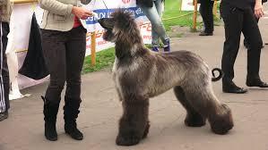 afghan hound ireland afghan hound breed greyhounds shot in 4k ultra high definition