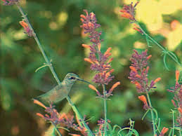 hummingbird attracting hyssops hgtv