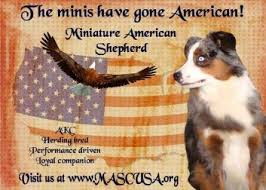 a mini australian shepherd desert sun miniature australian shepherd about mini aussies and