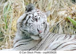 white tiger looks back white tiger looking back stock image