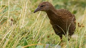 new zealand birds a z native animal conservation