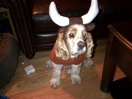 for my cake day here u0027s my cocker spaniel dressed up as bevo for