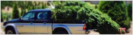 real christmas trees sydney home tree care tips