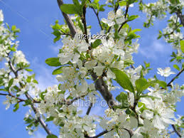 Trees With White Flowers Stock Photo Blossoming Tree White Flowers Blue Sky Image