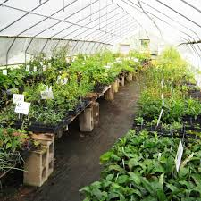 nativ plants local genotype native plant nursery u2013 dropseed