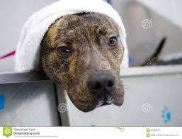american pit bull terrier brindle brindle american pitbull terrier dog in bath tub stock photo