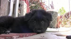 belgian sheepdog litters belgian sheepdog puppies on vimeo
