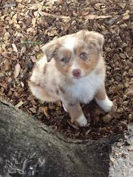 australian shepherd red merle puppy 361 best images about another because on pinterest