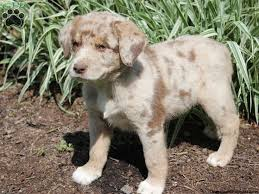 australian shepherd catahoula mix 107 best animals images on pinterest animals odd couples and