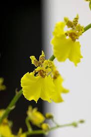 oncidium orchid 91 best oncidium orchid images on oncidium orchid
