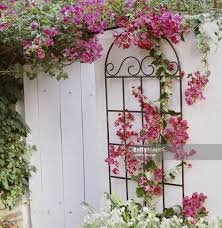 bougainvillea climbing trellis stock photo getty images
