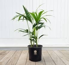 buy indoor plants online delivered to auckland plantandpot nz
